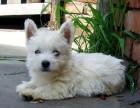 出售极品西高地白梗幼犬-健康包三个月