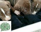 盛诚犬业十多年的养殖经验 养殖纯种比特犬幼犬 当面测试交易