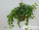成都武侯区绿植租赁公司教你摇钱树的养殖方法和注意事项