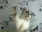 皇城名猫 浅三花折耳猫妹妹