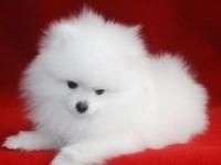 广州纯种博美幼犬 出售纯种博美犬幼犬宠物狗 广州宠物狗博美犬