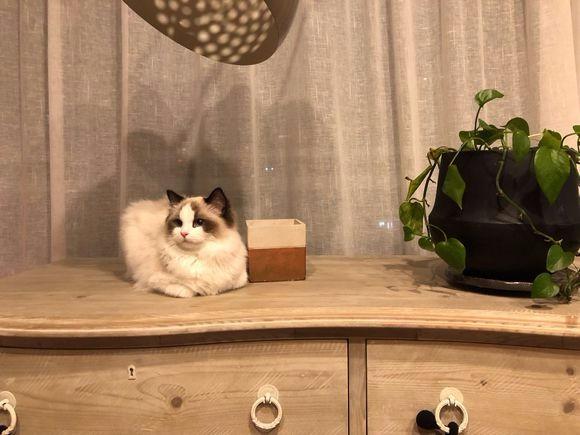 郑州哪里有布偶猫卖 海豹双色 重点手套均有CFA认可多只可挑