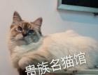 (贵族名猫馆) 布偶 豹猫 花色英短折耳幼仔预订中
