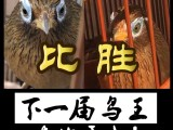 画眉鸟不换毛有药卖吗,画眉鸟换不好毛画眉鸟饲料鸟食