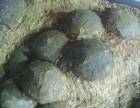 北京蛋化石拍卖及价格