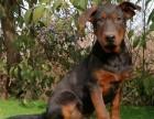 出售活体纯种健康大型莱州红幼犬宠物狗狗 莱州红看家护院工作犬