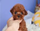 卖纯种泰迪犬的多少钱 泰迪贵宾找新家