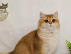 Aiou爱偶猫舍,冠军金渐层蓝金渐层大种公对外借配