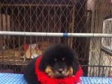 佛山到哪买藏獒犬好 佛山纯种藏獒犬价钱多少钱