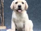 重庆养殖场繁殖 出售拉布拉多犬 包犬瘟细小 包活
