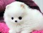 西安狗狗之家长期出售高品质 博美 售后无忧
