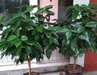 出售平安树