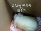 家养出五只成年纯种垂耳兔和猫猫兔