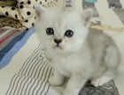 出售金吉拉猫