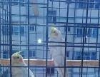 出售黄化玄凤鹦鹉种鸟一对