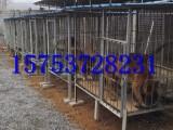 三个月马犬幼犬多少钱,怎么驯养马犬幼崽,成年马犬价格