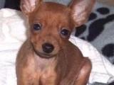 萌宠小鹿犬正在等你带它回家哦!