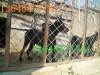 长沙市大型比利时马犬