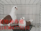 出售仙女鸽,仙女鸽一对多少钱,哪里有卖仙女鸽的,仙女鸽图片