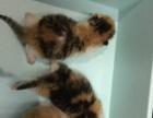 萌猫舍出售精品猫咪