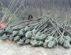 出售扬州当地各种绿化苗木