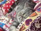 纯种加菲猫,种公,可借配