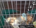 宠物兔子转让、可供养殖场!母兔