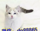 超萌布偶猫气质佳 品相好是陪伴您的好伙伴