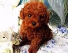 茶杯泰迪幼犬玩具泰迪犬 颜色齐全终身质保 可看视频