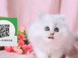 南阳在哪里卖健康纯种宠物猫 南阳哪里出售金吉拉