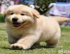 聪明可爱金毛能听懂主人心生,表达出来是微笑和旺旺