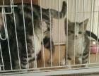 美短加菲蓝猫配种出售美短加白小猫