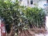四川花卉苗木基地对外出售大中小桂花苗木、桂花树、桂花种子