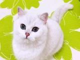 纯家养蓝猫、渐层、蓝白,包健康,欢迎来家撸猫