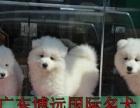 中山纯种的萨摩耶犬要多少钱中山哪里有卖萨摩耶雪橇犬