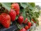鄞州东钱湖草莓