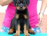 天津出售纯种罗威纳幼犬活体大骨量大头双血统罗威