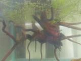 樱花虾极火虾小虾亚成下宠物虾