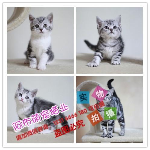 石家庄当地出售 加菲 折耳 蓝猫 暹罗 布偶 波斯猫 金吉拉