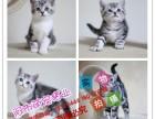 合肥出售英短蓝猫渐层蓝白美短虎斑起司折耳蓝白蓝猫加菲猫暹罗猫