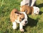 纯种健康价格合理英牛幼犬 英国斗牛犬 可检测包3月
