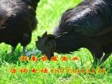 五黑一绿土鸡苗批发绿壳蛋鸡苗养殖