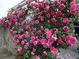 大量供应欧月苗权杖之岛美女比安卡纪念马尔代松伊丽莎白女王