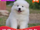 本地出售纯种萨摩耶幼犬,十年信誉有保障