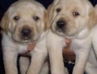 昆明本地狗场直销 拉布拉多幼犬 包健康保存活签协议
