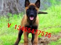 保定出售马犬幼犬赛级双血统 兴奋度高警犬品质 聪明易训练