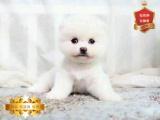 纯种哈多利球体博美 俊介犬 带证书签合同 免费