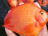 养殖场直售元宝鹦鹉鱼
