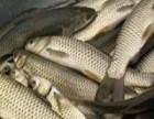 北京鲤鱼草鱼 鲫鱼花鲢鱼 观赏鱼锦鲤 放生鱼大量出售