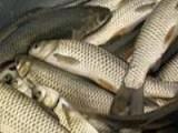 鲤鱼草鱼 观赏鱼锦鲤 放生鱼大量出售